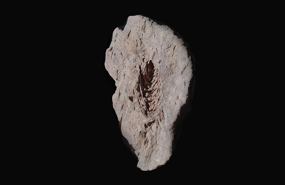 Pinus engelhardtii